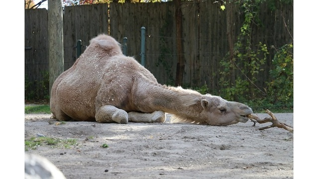 Beloved Roger Williams Zoo camel passes away