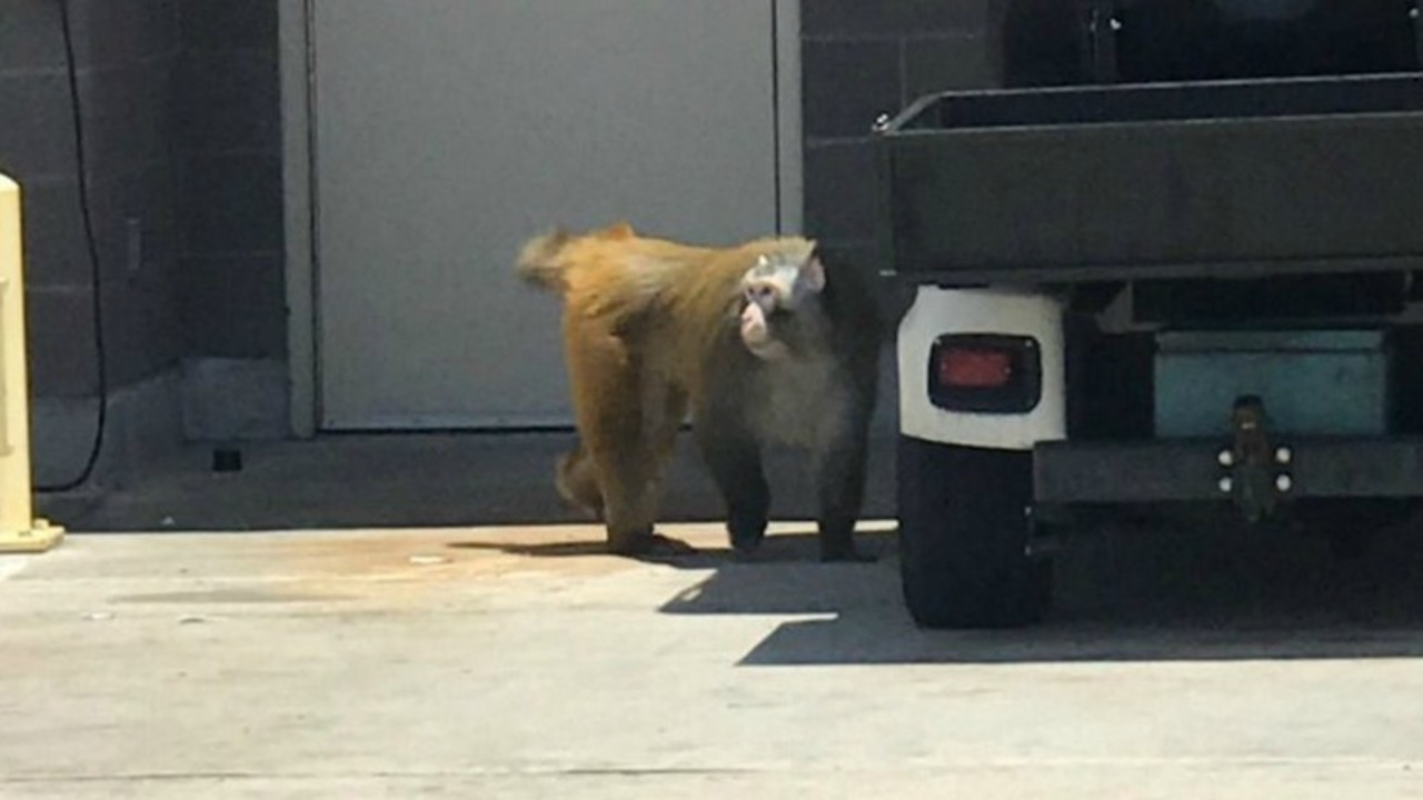Retired research monkey escapes during transport to sanctuary