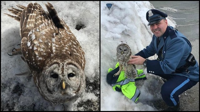 Massachusetts State Trooper rescues owl from roadway